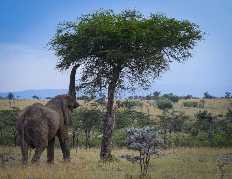 El alcanzar del elefante foto de archivo