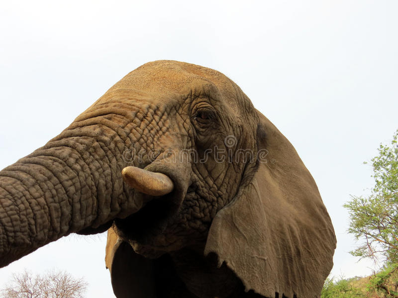 El alcanzar del elefante imagenes de archivo
