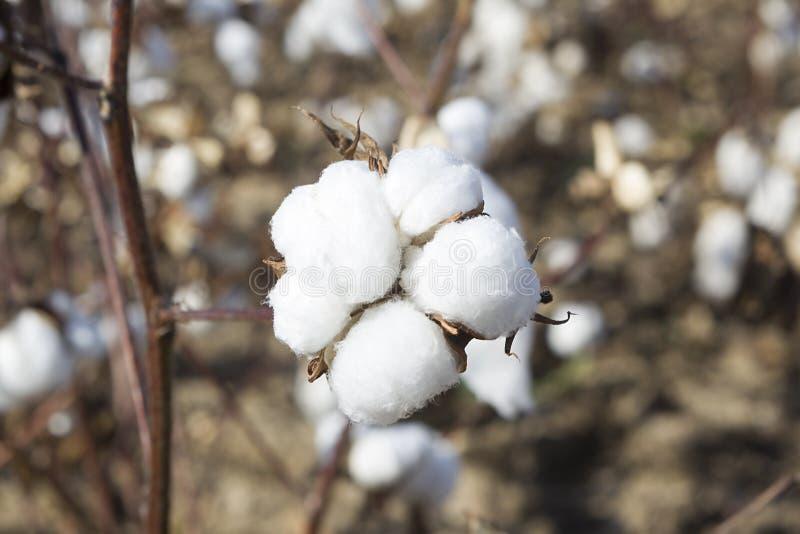El algodón coloca blanco con el algodón maduro listo para cosechar fotos de archivo