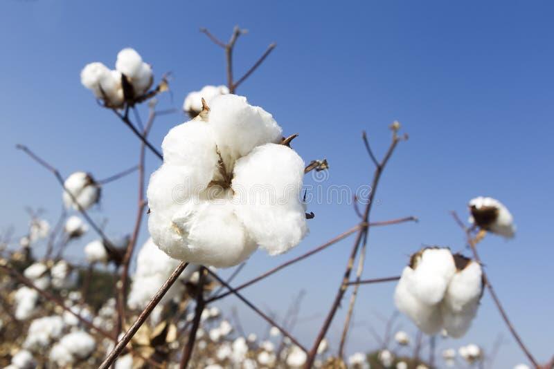 El algodón coloca blanco con el algodón maduro listo para cosechar fotografía de archivo