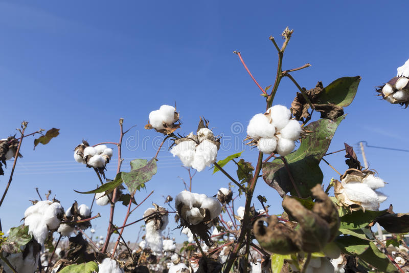 El algodón coloca blanco con el algodón maduro listo para cosechar imagenes de archivo