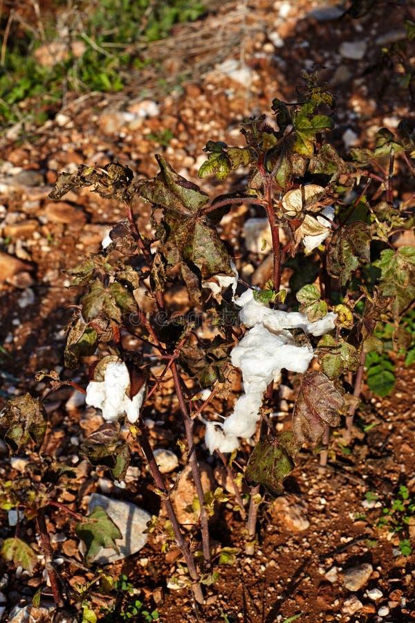 El algodón coloca con el algodón maduro listo para cosechar imágenes de archivo libres de regalías