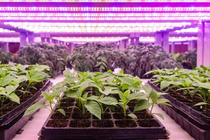 El almácigo crece con la luz llevada de la planta en invernadero de la granja foto de archivo libre de regalías