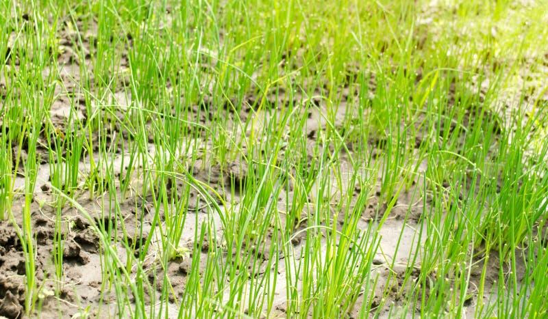 El alm?cigo del puerro crece en invernadero Verduras org?nicas crecientes farming Agricultura Semillas Primer Foco selectivo fotos de archivo