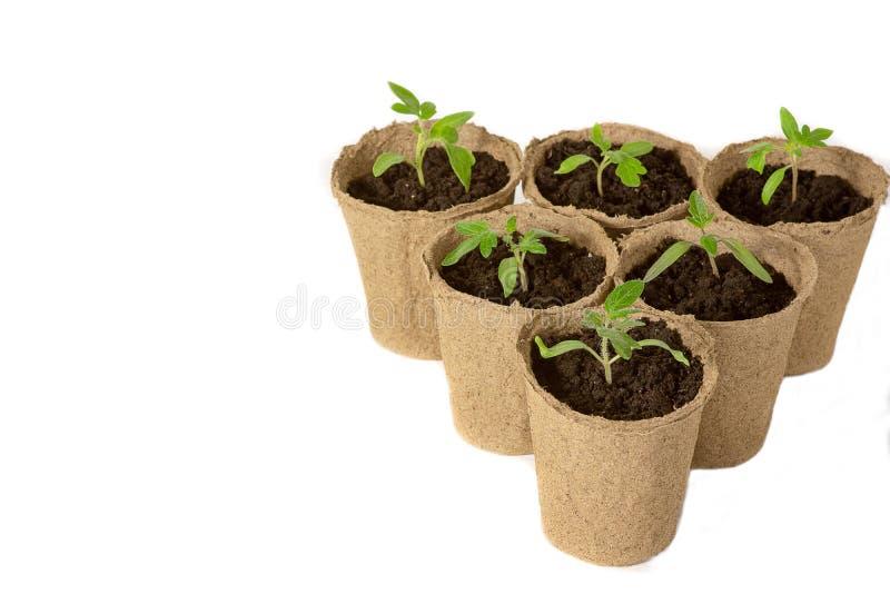 El alm?cigo joven del tomate brota en los potes de la turba aislados en el fondo blanco Concepto que cultiva un huerto fotos de archivo libres de regalías