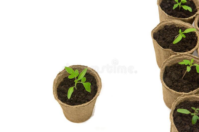 El alm?cigo joven del tomate brota en los potes de la turba aislados en el fondo blanco Concepto que cultiva un huerto imagenes de archivo