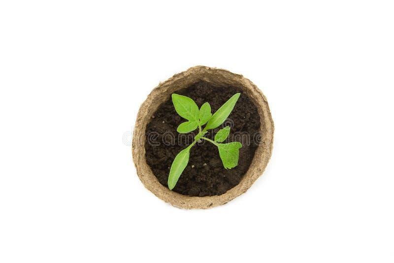 El alm?cigo joven del tomate brota en los potes de la turba aislados en el fondo blanco Concepto que cultiva un huerto imágenes de archivo libres de regalías