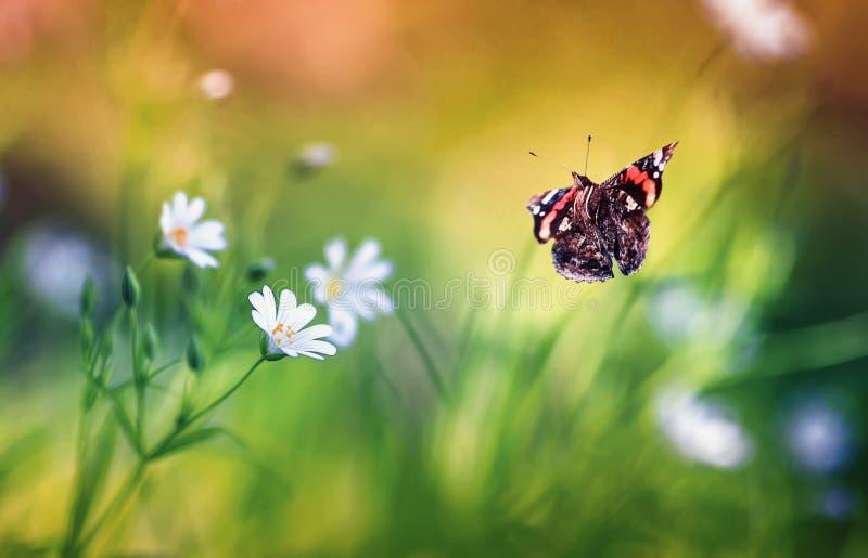El almirante hermoso de la mariposa vuela a las pequeñas flores blancas crece en un claro hermoso fabuloso del bosque de la lila  foto de archivo