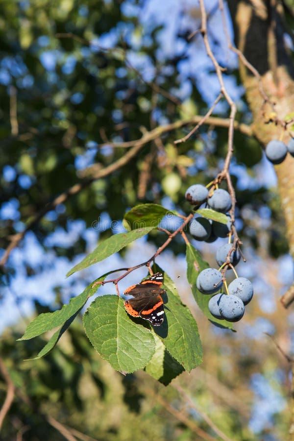 El almirante rojo es una mariposa colorida, encontró en Europa, Asia y Norteamérica templados en la hoja verde con los ciruelos p fotografía de archivo