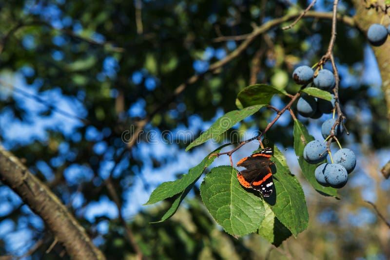 El almirante rojo es una mariposa colorida, encontró en Europa, Asia y Norteamérica templados en la hoja verde con los ciruelos p imágenes de archivo libres de regalías