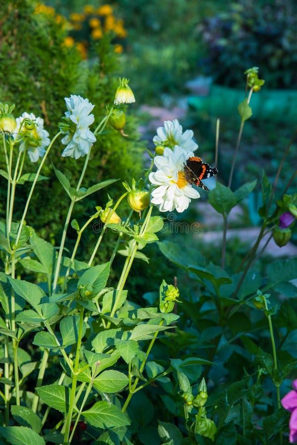 El almirante rojo es una mariposa colorida, encontró en Europa, Asia y Norteamérica templados en las flores blancas imagen de archivo