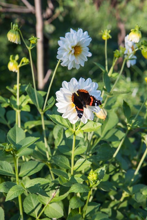 El almirante rojo es una mariposa colorida, encontró en Europa, Asia y Norteamérica templados en las flores blancas imagenes de archivo