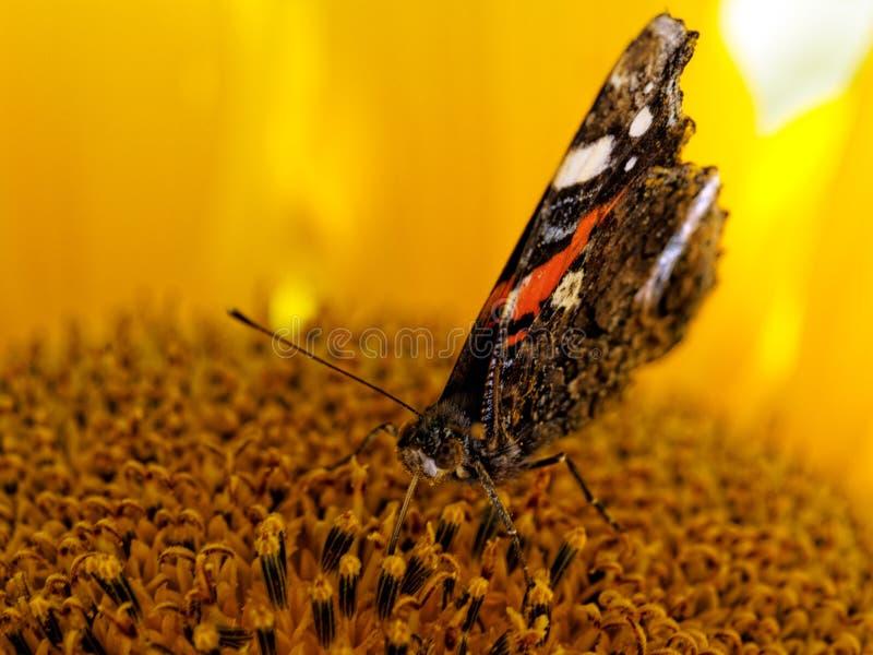 El almirante rojo o previamente, la mariposa admirable roja imagenes de archivo