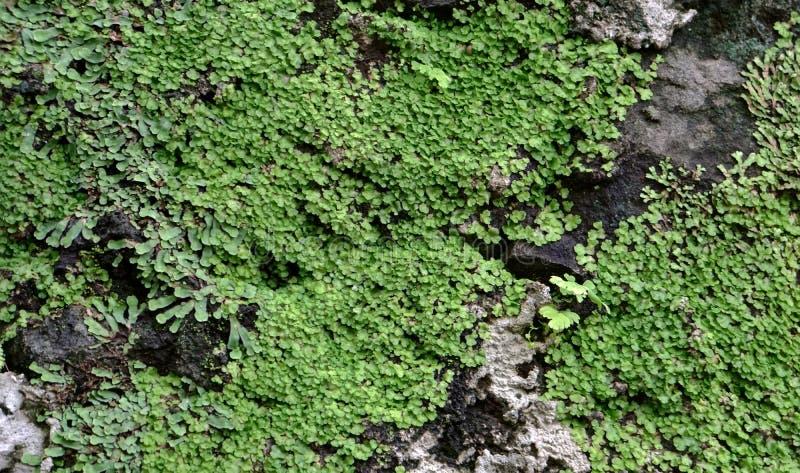 El almizcle minúsculo de las hojas tiene gusto en la pared de piedra imágenes de archivo libres de regalías
