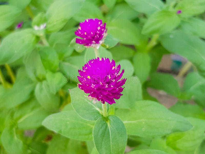 El amaranto púrpura en el jardín público está floreciendo fotografía de archivo