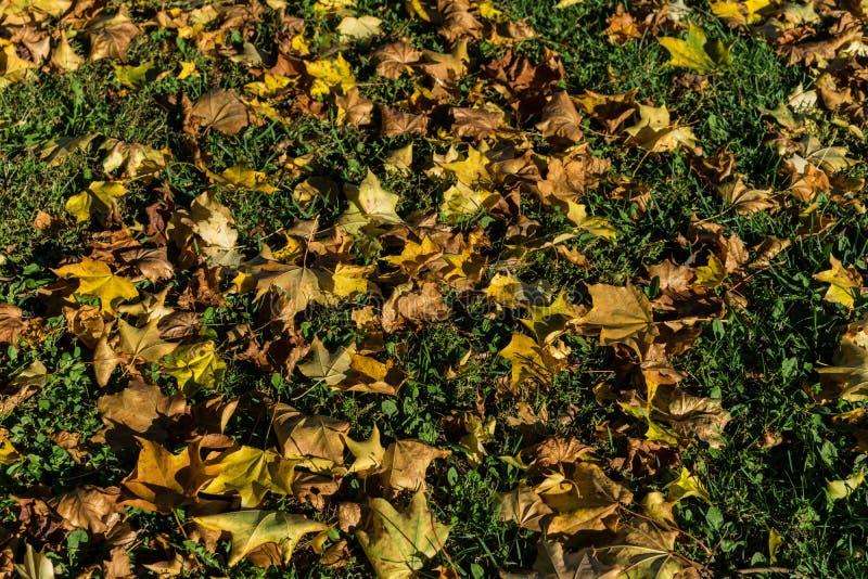 El amarillo deja temporada de otoño del otoño en prado verde foto de archivo