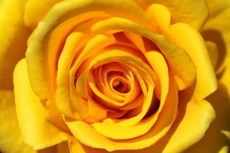 El amarillo del primer se levantó imagen de archivo