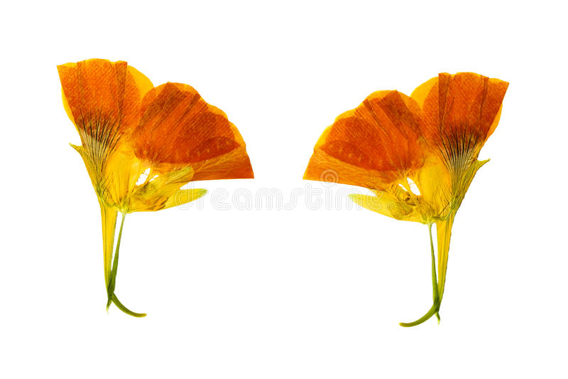 El amarillo delicado presionado y secado coloreó la capuchina de las flores foto de archivo