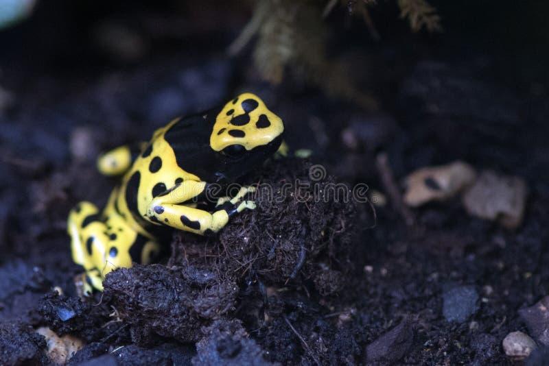 El amarillo dirigió la rana del veneno foto de archivo libre de regalías