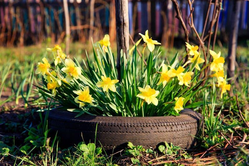 El amarillo florece los narcisos que crecen en un neumático de coche imágenes de archivo libres de regalías
