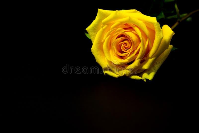 El amarillo fresco subió cerca para arriba en fondo floral del fondo oscuro fotos de archivo libres de regalías