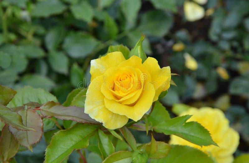 El amarillo hermoso se levantó fotografía de archivo