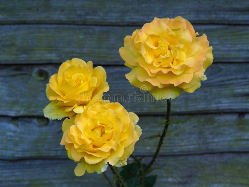El amarillo hermoso subió las floraciones por una cerca del jardín foto de archivo libre de regalías