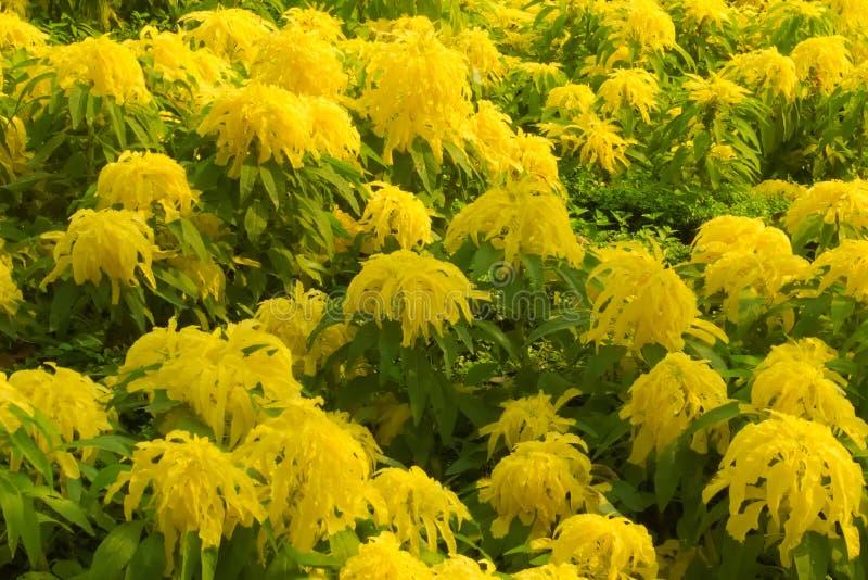 El amarillo inusualmente grande de la ejecución florece, en una cama grande del jardín de un parque tailandés verde enorme fotografía de archivo