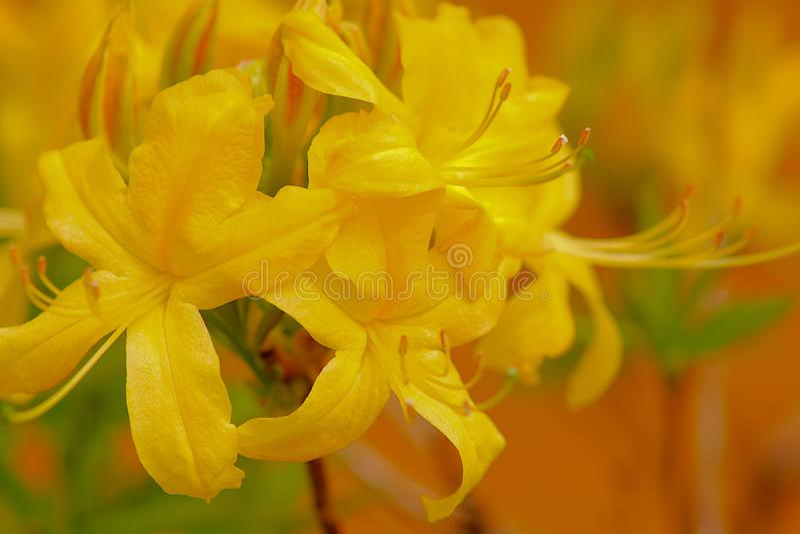 El amarillo o Honeysuckle Azalea - rododendro Luteum imagenes de archivo