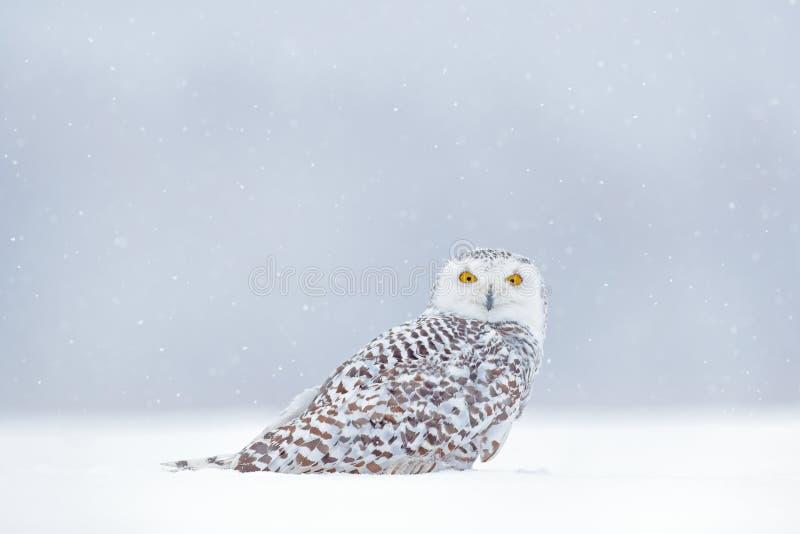 El amarillo observa en blanco Escena del invierno con el búho blanco Búho Nevado, scandiaca de Nyctea, pájaro raro que se sienta  foto de archivo libre de regalías