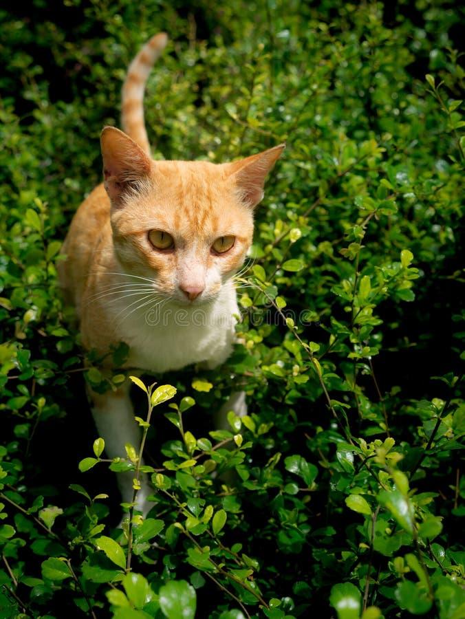 El amarillo rayó a Cat Pussyfoot blanca a la caza de la víctima fotografía de archivo libre de regalías