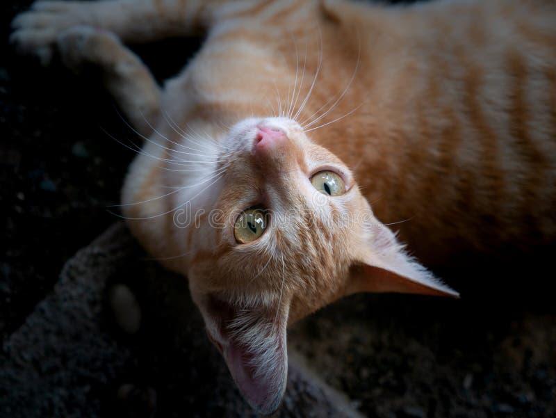 El amarillo rayó a Kitten Lying blanca y mira para arriba fotos de archivo libres de regalías