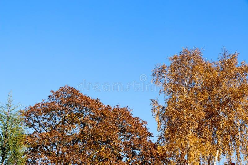 El amarillo se va contra un cielo azul en una mañana del otoño fotos de archivo
