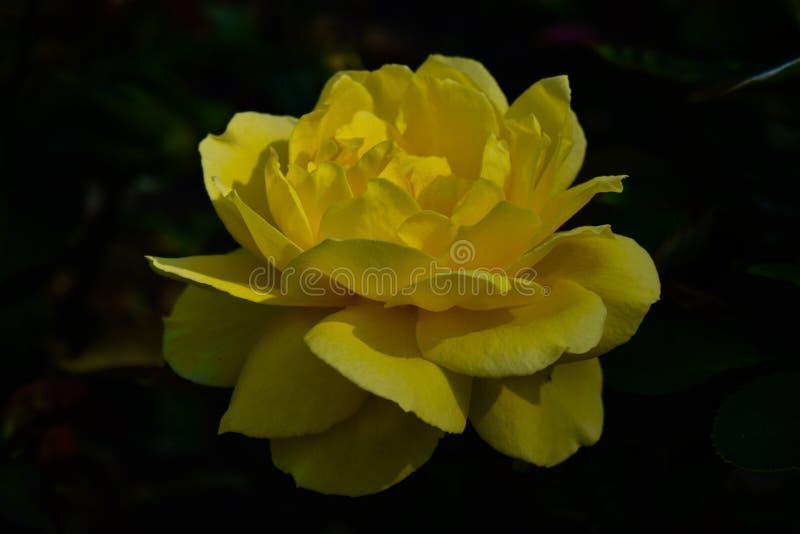 El amarillo subió fondo negro macro foto de archivo libre de regalías