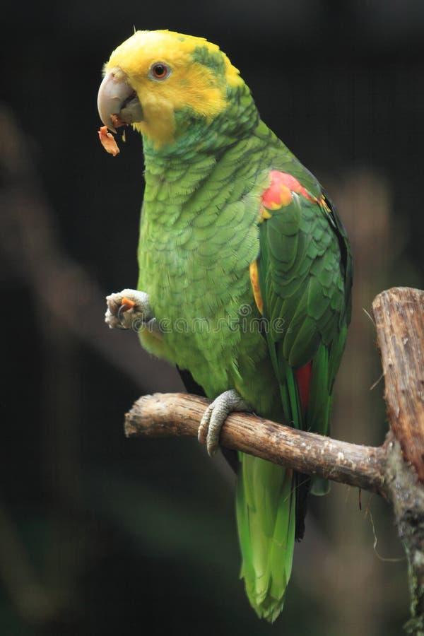 el Amazonas Amarillo-dirigido imágenes de archivo libres de regalías