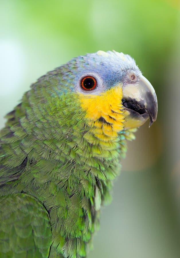 El Amazonas anaranjado-con alas imagen de archivo