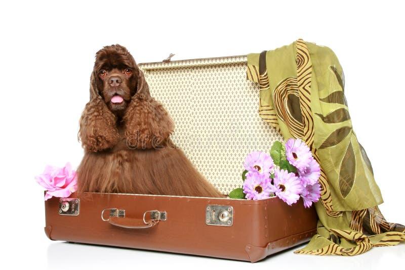 El americano cocker spaniel se sienta en maleta imagen de archivo libre de regalías