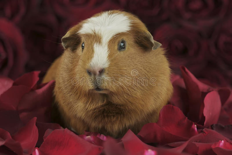 El americano de oro de la raza del conejillo de Indias Crested en los pétalos de rosas rojas imagenes de archivo