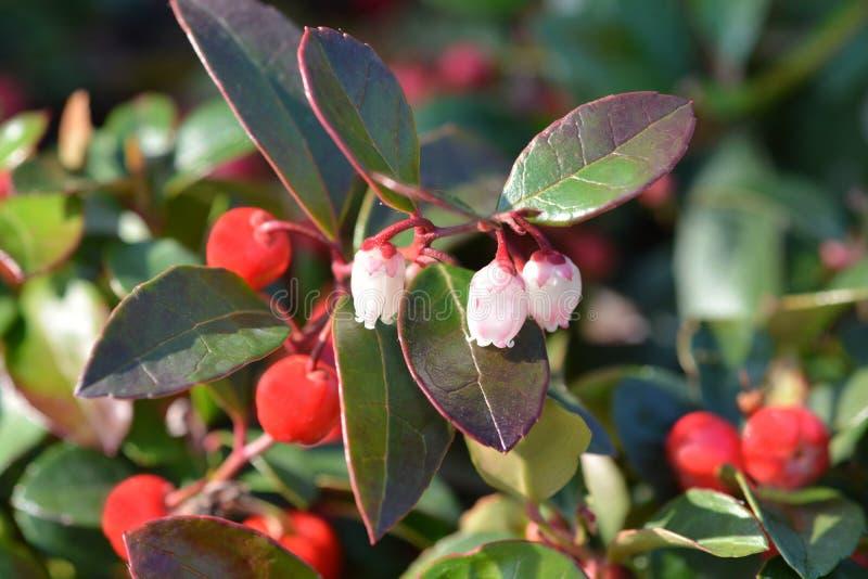 El americano wintergreen imagen de archivo libre de regalías
