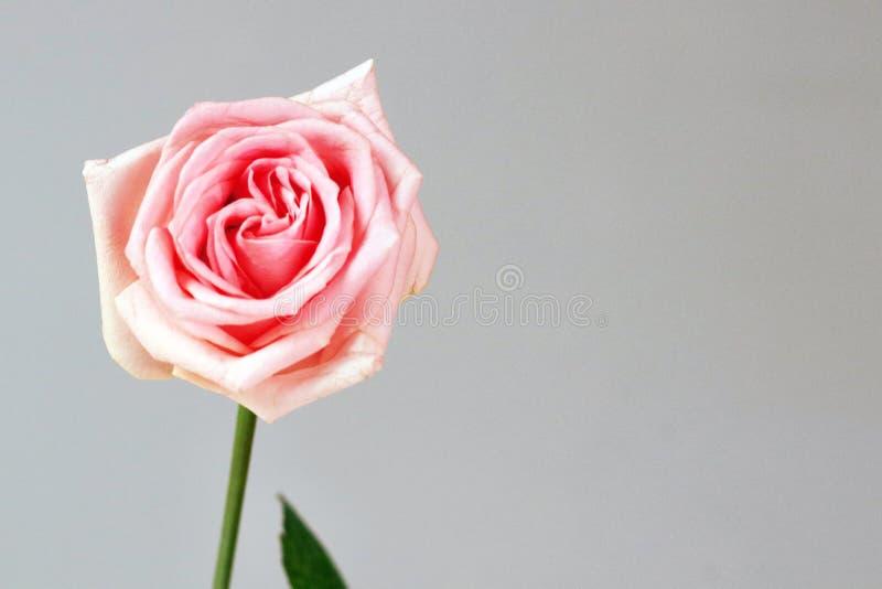 El amor de la rosa del rosa aisló el fondo profundo de la alegría de la admiración de la gratitud imagen de archivo libre de regalías