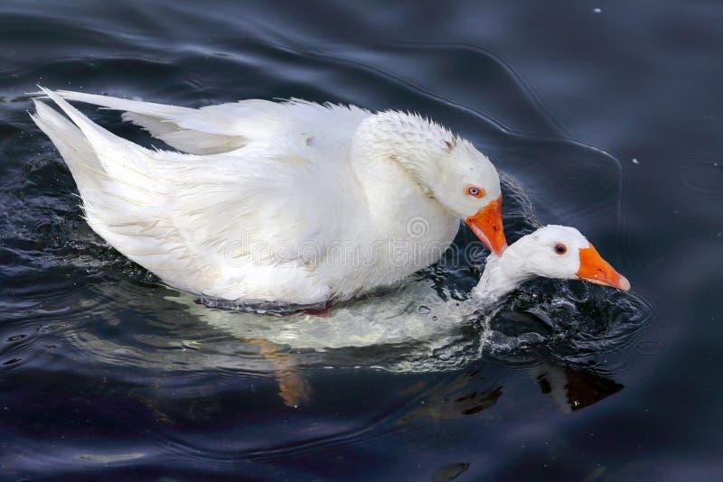 El amor está en el agua imagenes de archivo