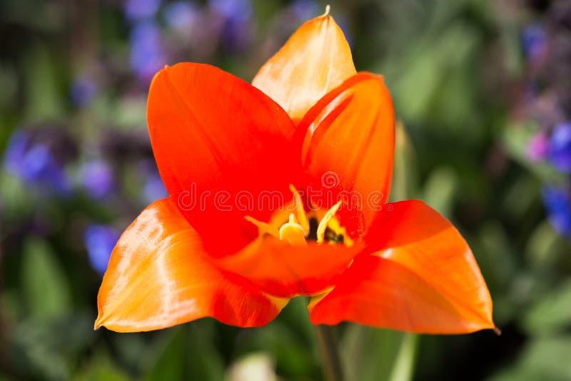 El ` anaranjado del emperador del ` del Tulipa florece en la floración en sol de la primavera fotografía de archivo
