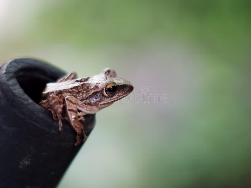El anfibio parece la rana del campo del arroz, leucomystax del Polypedates imágenes de archivo libres de regalías