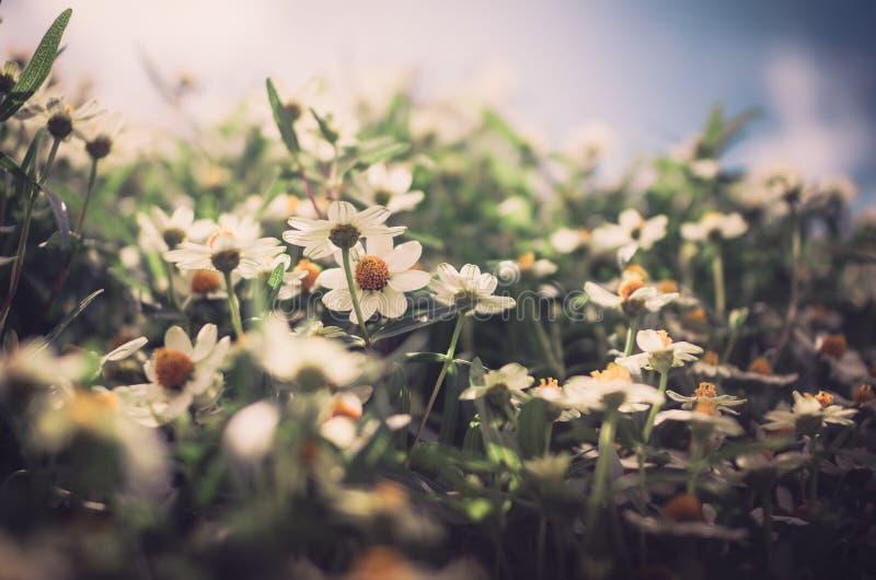 El angustifolia del Zinnia florece el vintage fotografía de archivo