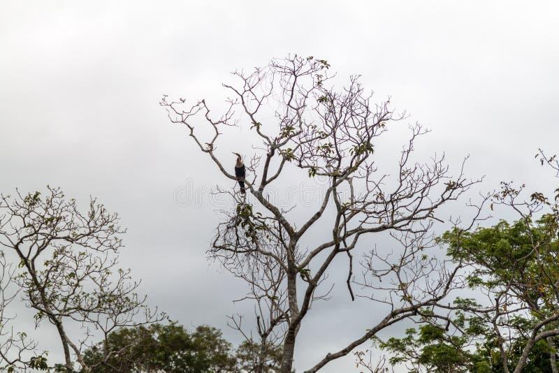 El Anhinga llamó a veces el snakebird, el darter, el darter americano, o el pavo de agua en un árbol cerca del río de Yacuma, Bol imagenes de archivo