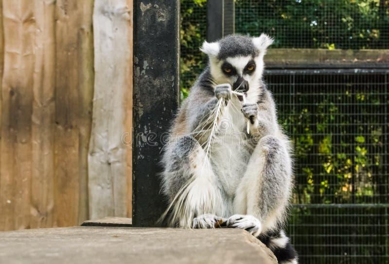 El anillo enojado mismo ató el lémur que rompía una pluma, una cólera de expresión animal y una frustración imagen de archivo libre de regalías