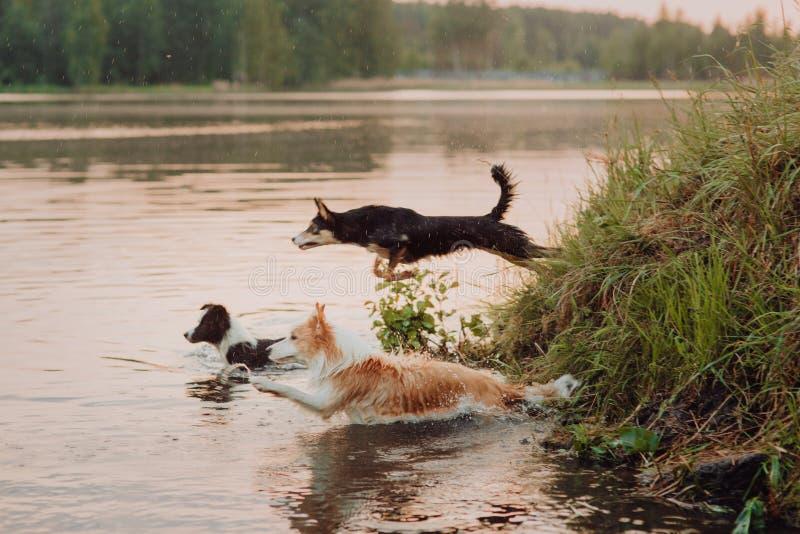 El animal doméstico apuesto del perro del border collie es mojado después de nadar fotos de archivo