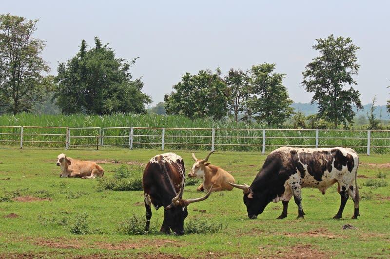 El animal está en granja tailandesa imagenes de archivo