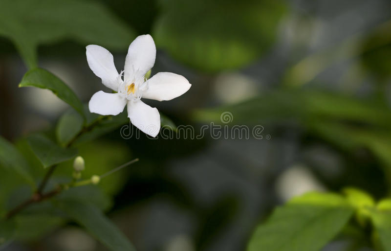 El antidysenterica o las angioespermas de Wrightia florece en Tailandia, impo fotografía de archivo libre de regalías