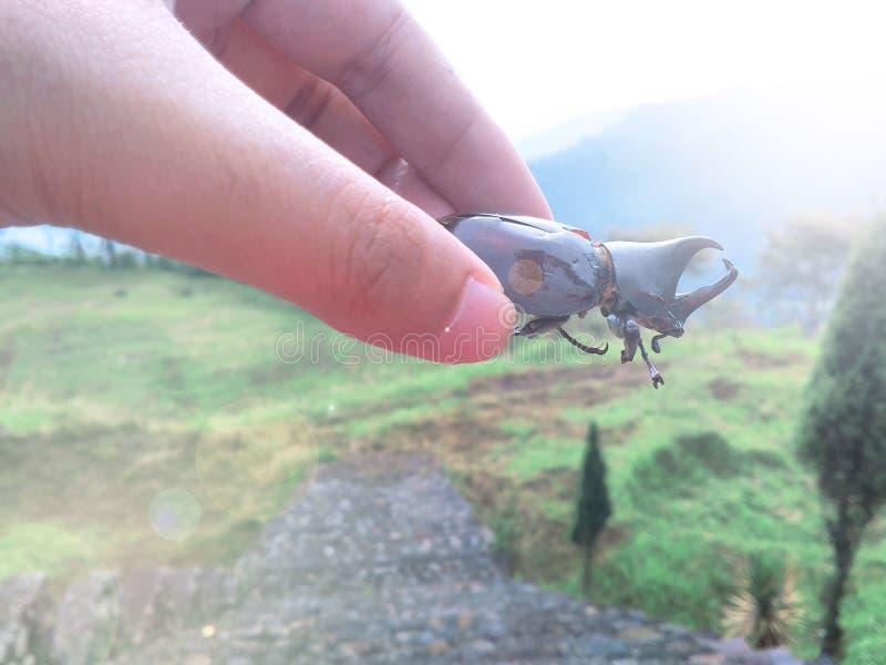 El apiarius del escarabajo foto de archivo
